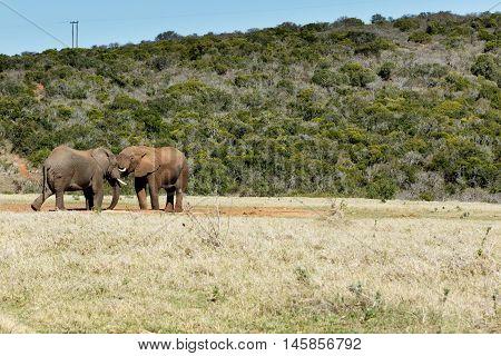 Just Chatting - African Bush Elephant