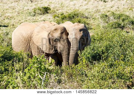 In Love Male And Female - African Bush Elephant