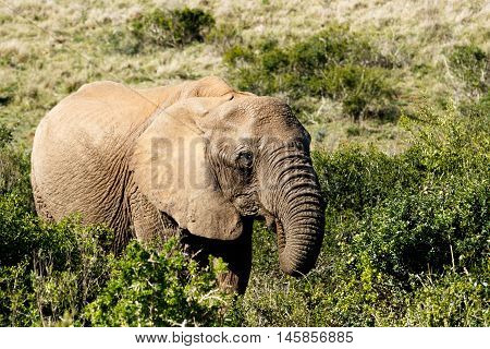 Just Eat Me - African Bush Elephant