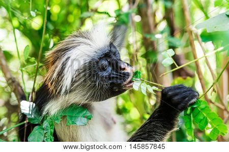 funny little african monkey eating green plant on a tree