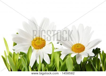 Beautiful Isolated Daisies