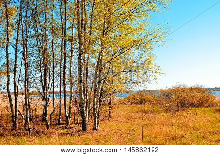 Autumn colored landscape with small autumn birch forest in autumn sunny weather. Autumn rural landscape with autumn yellowed birches under sunlight. Landscape autumn natural view of autumn nature.