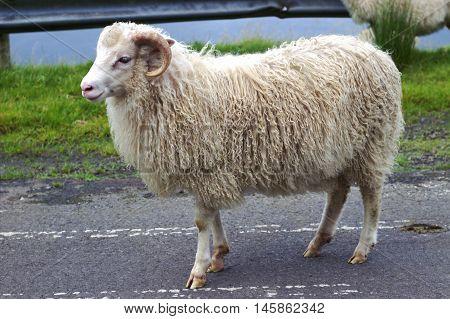 Wildlife in the Faroe islands in the north Atlantic
