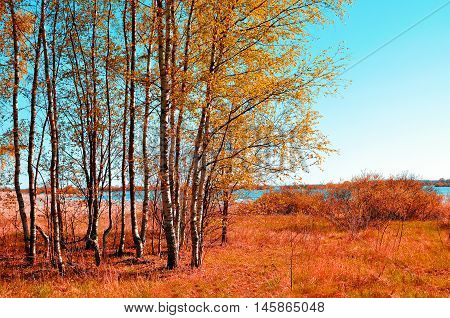 Colorful autumn landscape with small autumn birch forest in autumn sunny weather. Autumn rural landscape with autumn yellowed birches under sunlight. Landscape autumn natural view of autumn nature.