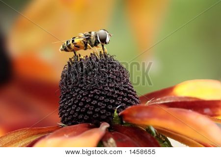 Hoverfly On Cone Flower