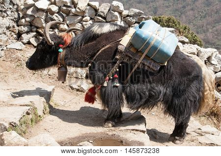 Black yak - bos grunniens or bos mutus - on the way to Everest base camp - Nepal