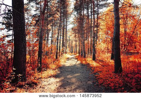 Forest sunny autumn landscape - row of autumn yellowed trees with autumn fallen leaves in the forest in sunny autumn weather picturesque landscape of sunny autumn forest nature. Soft focus applied