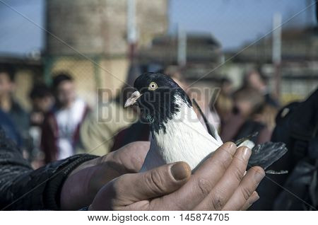 In the bird market fluttering dove on hand. Domestic pigeons.