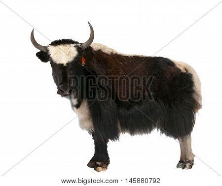 Black and white yak (Bos mutus) isolated on white background