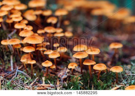 Closeup Orange Fungus In Moss
