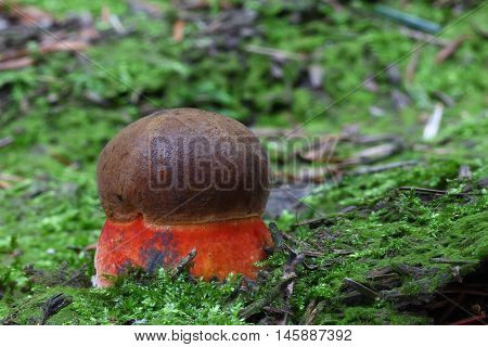 boletus, luridiformis, bolete, fungi mushroom, edible, red, brown, forest, wild, moss