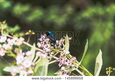 Purple Sun-bird sitting and collecting nectar from flowers