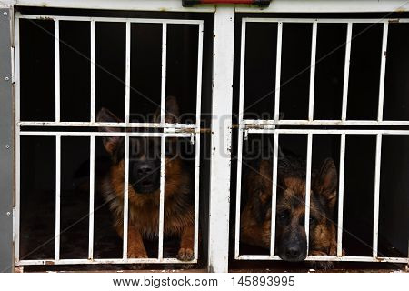 German Shepherd Dog. Two dogs are locked up in a cage on a trailer.
