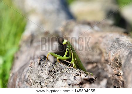 Green mantis sitting in a hole in the wood. Mantis religiosa.