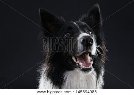 Border Collie Portrait on a  black background