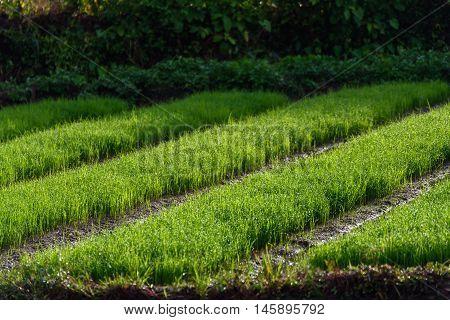 Rice farming of Farmer in Chiang Mai,Thailand.