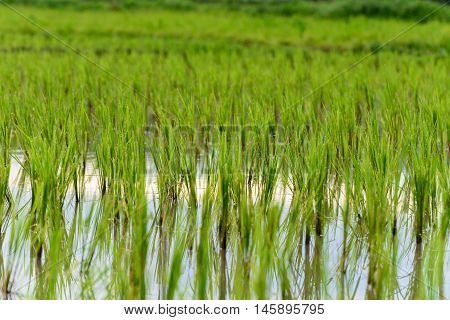 Rice growing in the field at Chiang Mai, Thailand.