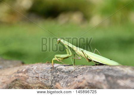 Green mantis sitting on wood. Mantis religiosa.
