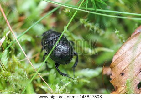 Dung Beetle in forest. Small bloody-nosed beetle (Timarcha goettingensis). A flightless beetle in the family Chrysomelidae, the leaf and seed beetles, found on grassland.