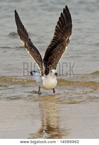 Seagull In The Water