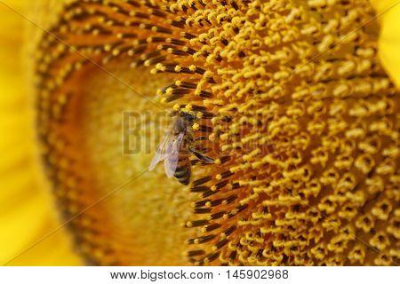 Macro image of honeybee on sunflower stamin