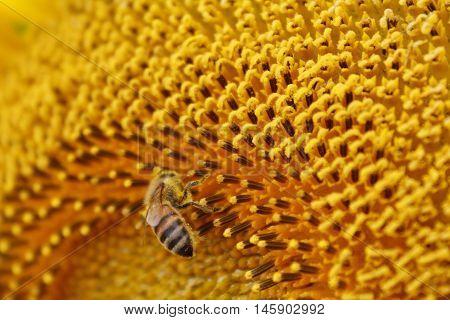 Macro image of honeybee on sunflower stamen