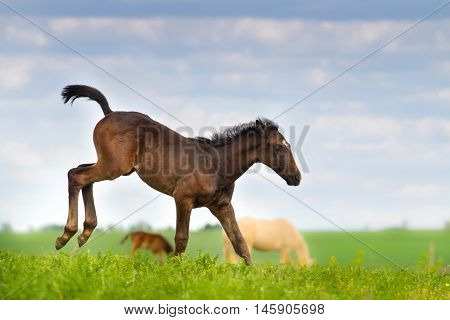 Little cute colt play on spring pasture