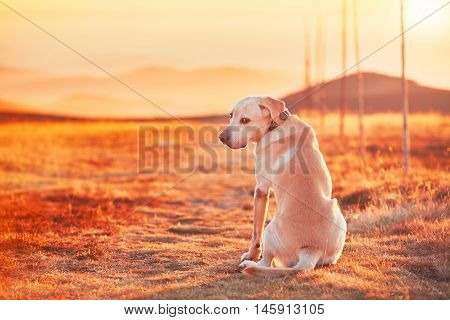 Dog at the sunset. Yellow labrador retriever on the trip in mountains. Jeseniky mountains Czech Republic.
