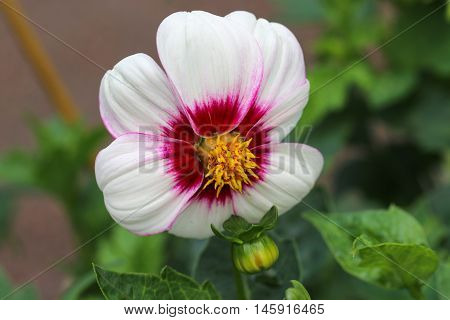 Beautiful red white dahlia flower with green leaves.