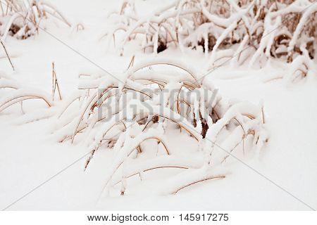 Grass Under Snow.