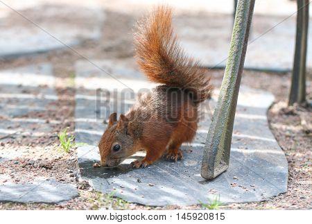 Squirrel. Animal in park. Botanical garden. Red squirrel.