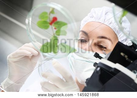 Laboratory grafting plants.Biotechnologist examine the plant samples in the laboratory