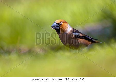 Hawfinch Walking In A Green Grass Field