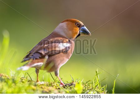 Eurasian Hawfinch (Coccothraustes coccothraustes) in garden setting