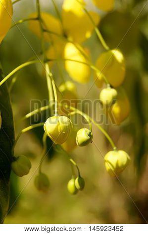 Cassia Fistula Known As The Golden Rain Tree Or Shower Tree
