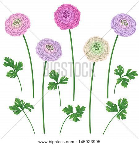 Buttercup flowers on high stems and leaves isolated on white background. Simplified floral elements set for decoration.