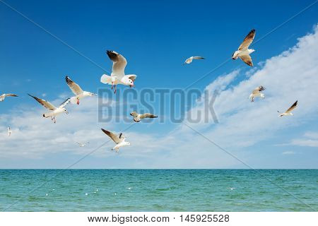 Seagull birds white group flying  fishing above blue sea