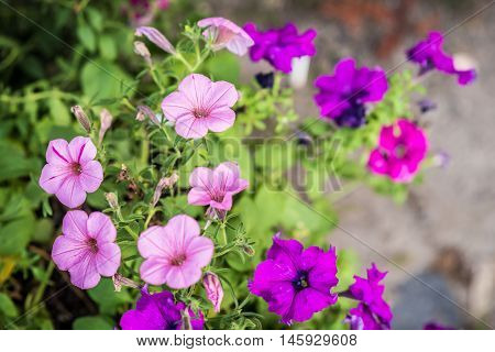 purple and pink petunia flowers growing in the summer garden