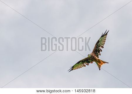 big red kite bird with huge wings flying high up in the sky