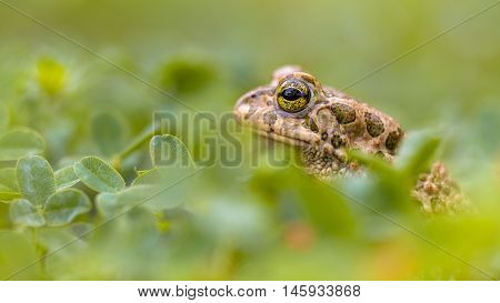 Green Toad Peeking From Grass