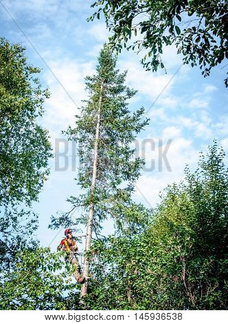 Quebec Canada - August 5 2016 : Professional lumberjack cutting tree on the top with a chainsaw in Quebec country Canada -- serial pictures