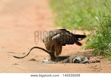 Tawny eagle (Aquila rapax)  eating its prey