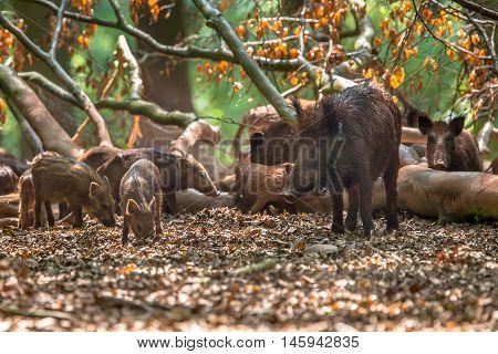 Family Of Wild Boar By Tree