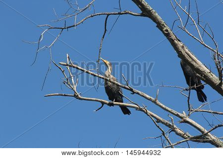 Double-crested cormorants (Phalacrocorax auritus) in a bare tree beside a large river against a blue sky