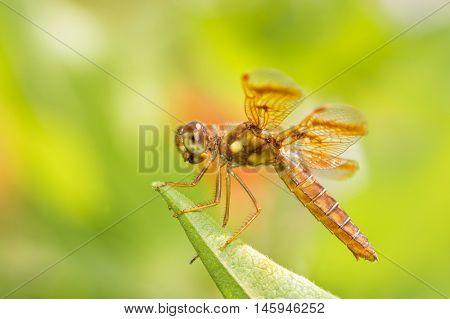 Eastern Amberwing dragonfly resting on a leaf