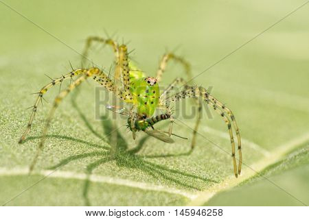 Green Lynx Spider, Peucetia viridans, with prey
