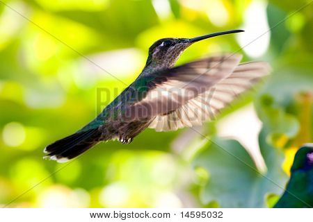Hummingbird In Full Flight
