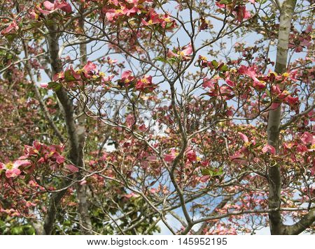 Blooming Dogwood tree in the Spring time.