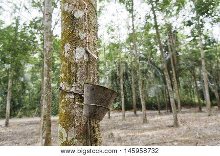 Rubber Latex Plantation