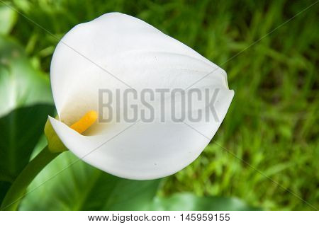White calla lily flower with yellow stamen in natural bushland reserve with blurred green background in Bibra Lake, Western Australia.